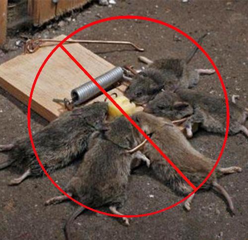 宾馆灭老鼠