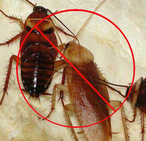 蟑螂一直消灭不掉的三大原因
