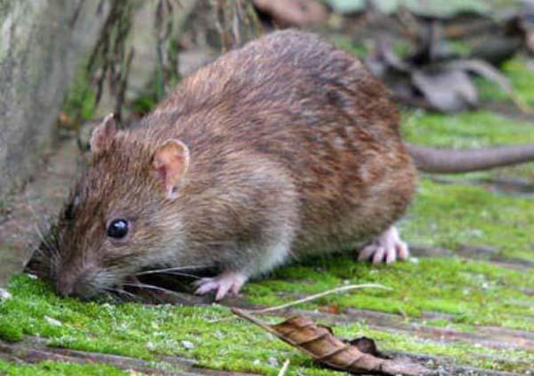 西安灭老鼠公司分享灭鼠与预防之间的关系