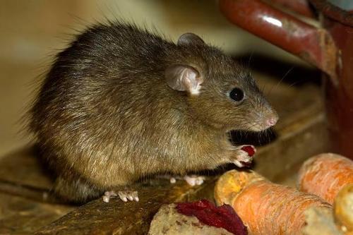 生活中最常见的三大灭鼠方法