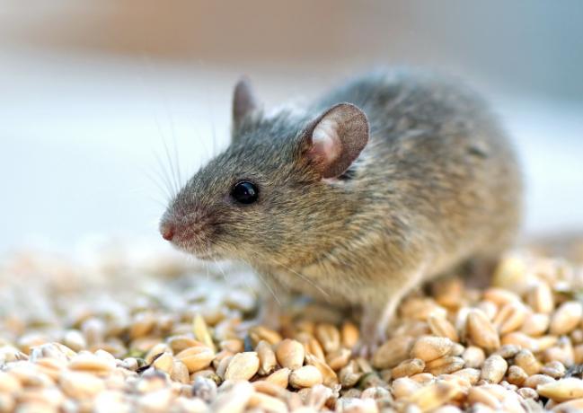 西安灭老鼠公司分享两个摆脱老鼠的技巧