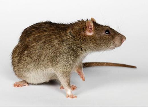 家里灭老鼠,做到这些可以让家再无鼠!