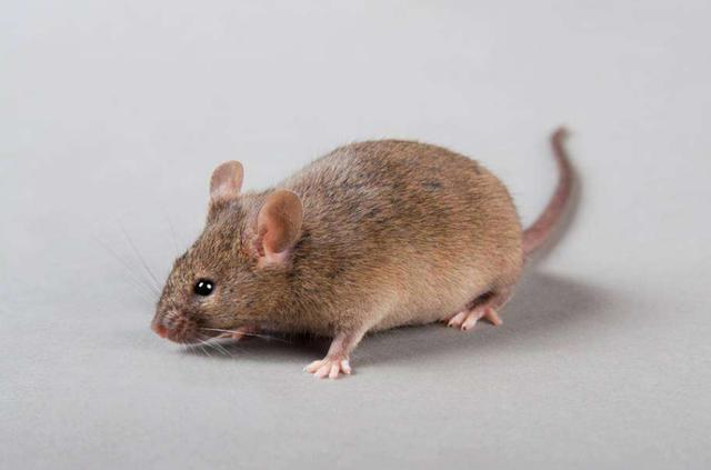 西安灭老鼠公司常用的四种灭鼠方法