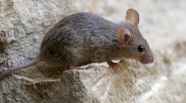 西安消杀公司分享灭老鼠的方法有那些