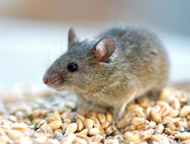 西安灭老鼠公司分享老鼠洞修补的方法