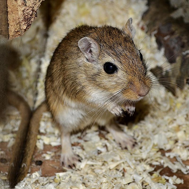 老鼠的基因变得越来越强大,我们该怎样对付?
