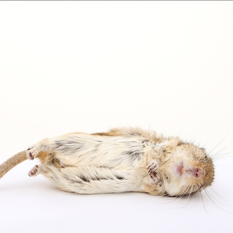 老鼠拒食鼠药的真正原因有哪些?