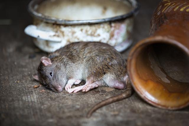 西安灭老鼠公司教你用物理法灭老鼠