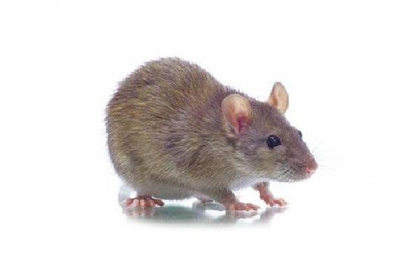 学校灭老鼠