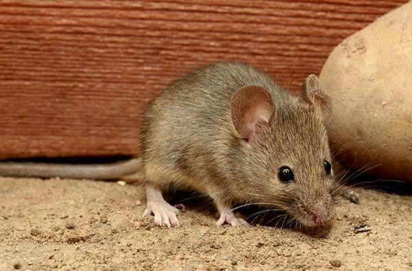 社区灭老鼠