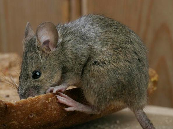 西安灭老鼠公司教你如何快速灭鼠