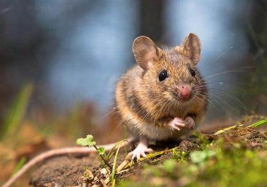 西安灭老鼠公司分享如何防止老鼠进入室内?