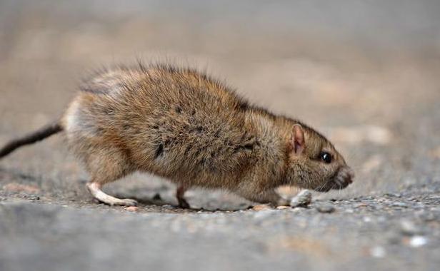 西安灭老鼠公司分享家庭鼠患防治小技巧