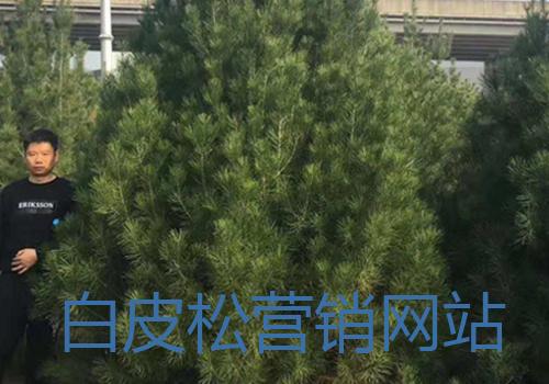 白皮松基地_精品白皮松营销网站