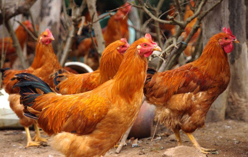 农家走地鸡