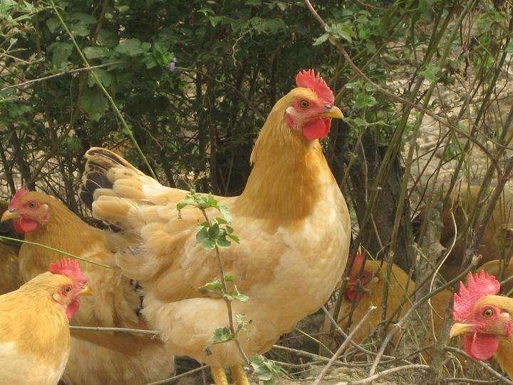 西安长安区走地鸡
