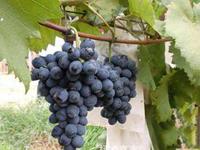 摩尔多瓦葡萄