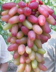 西安美人指葡萄的价格