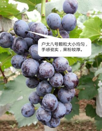 西安户太葡萄供应