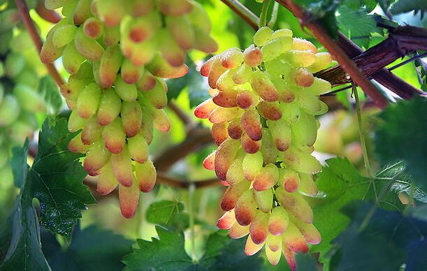 西安美人指葡萄价格