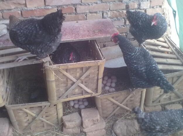 西安芦花鸡销售