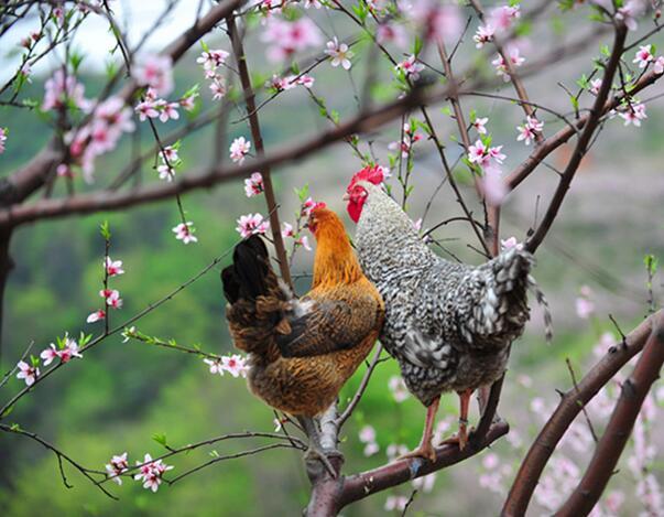 西安芦花鸡批发销售生产