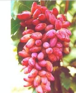 西安红乳葡萄价格批发