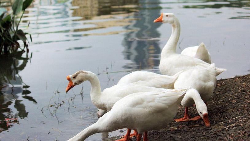 西安原生态散养鹅销售