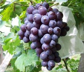 西安摩尔多瓦葡萄销售批发哪家好