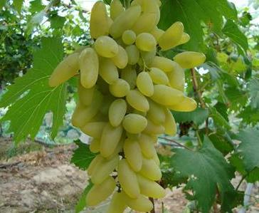 西安金手指葡萄销售生产