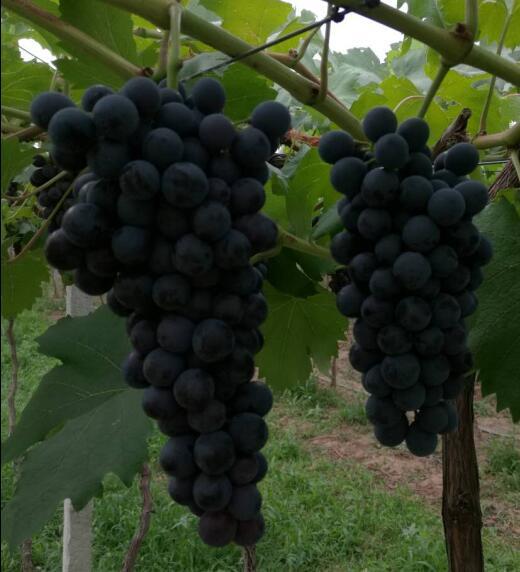 夏黑葡萄庄园