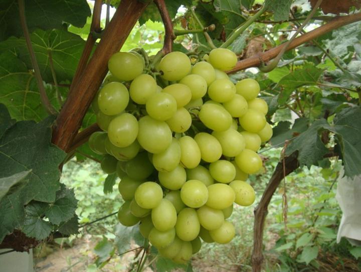 阳光玫瑰葡萄供应