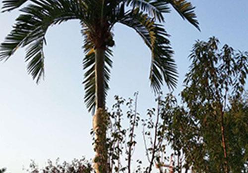 西安仿真椰子树