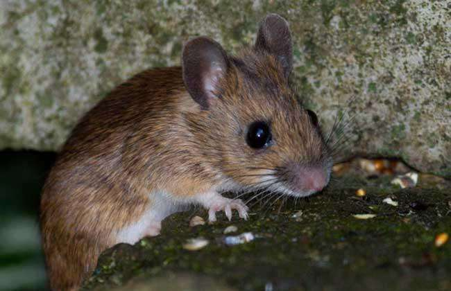 专业灭老鼠