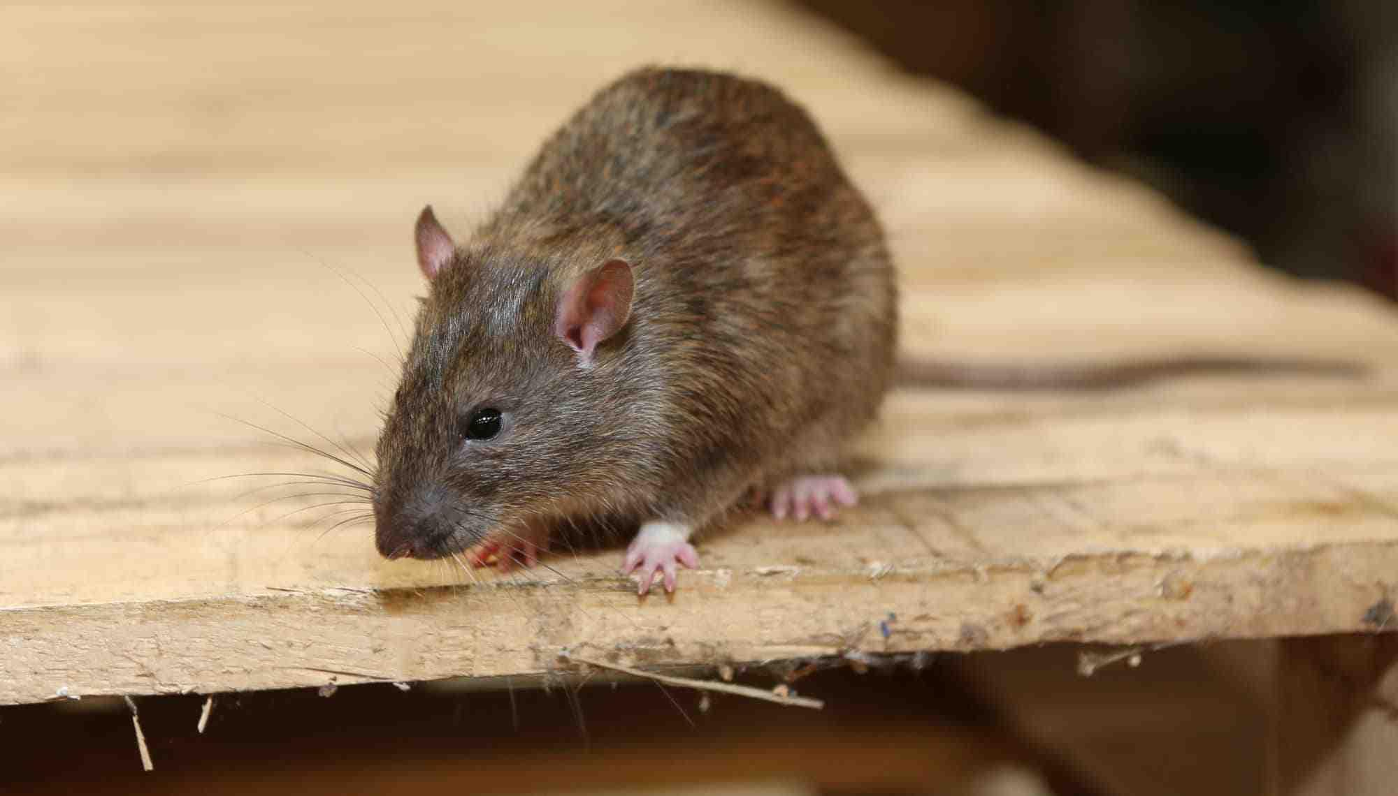 家里灭老鼠