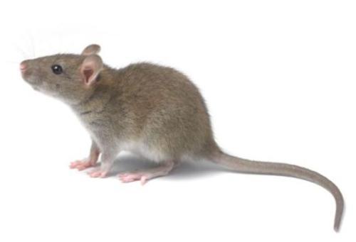 怎么灭老鼠