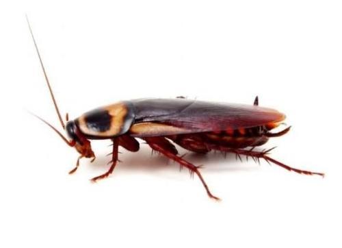 如何灭蟑螂