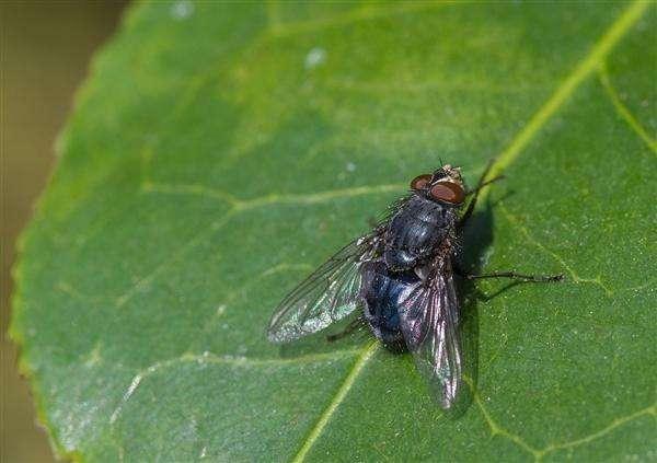 西安灭苍蝇公司觉得苍蝇是最脏的虫类