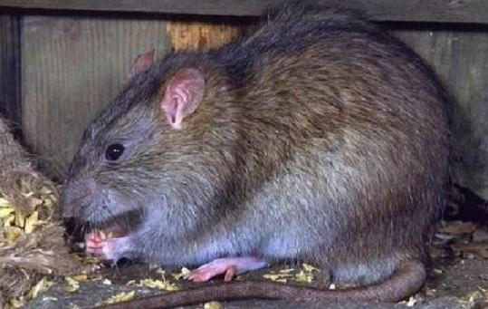 居民区应用毒饵灭老鼠的3个关键问题