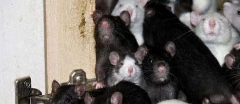 消灭老鼠前应该先了解老鼠的特点与生活习性