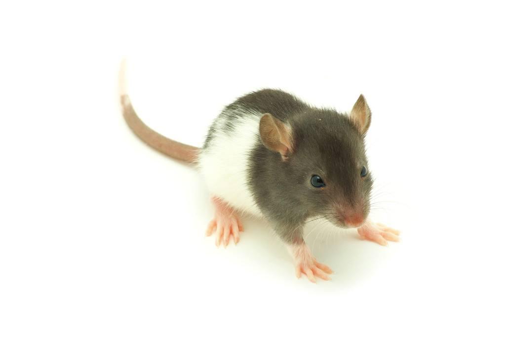 西安各类环境下灭除老鼠的方法