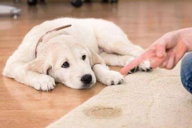 训练狗狗室内定点排便