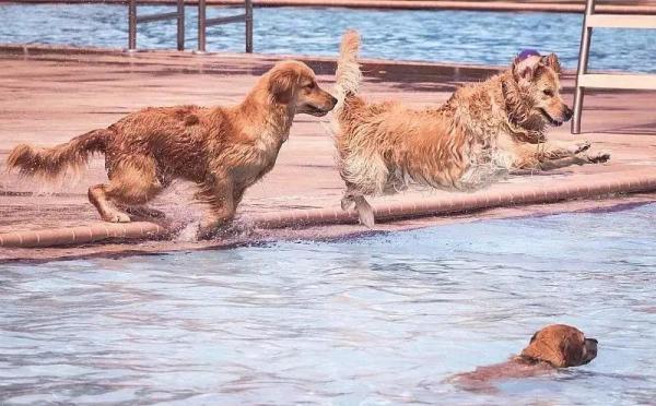 狗狗夏季游泳注意事项