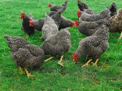 夏季养鸡防中暑,养鸡户应该这样做!