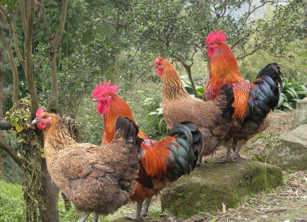 土鸡苗批发时选择好的鸡苗品种可以让养殖收益更好