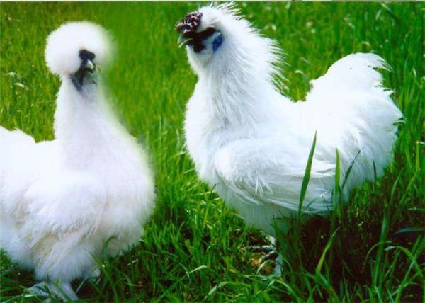 土鸡苗种鸡乌鸡