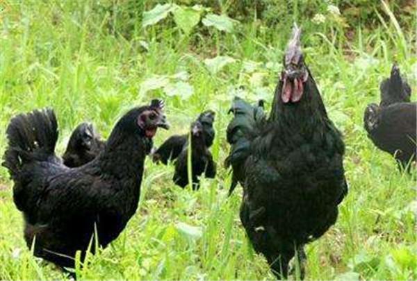 土鸡苗种鸡黑羽鸡