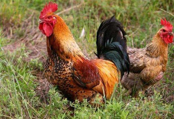 土鸡苗种鸡固始鸡