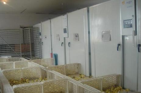 土鸡苗孵化基地