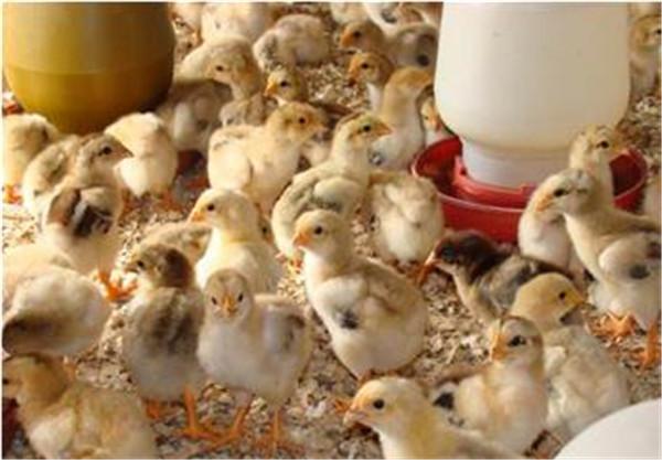 土鸡苗进鸡场前都需准备哪些,提高鸡苗存活率!
